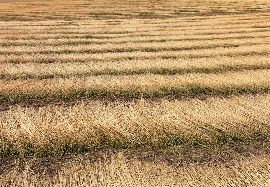 Flachs wird am Feld getrocknet