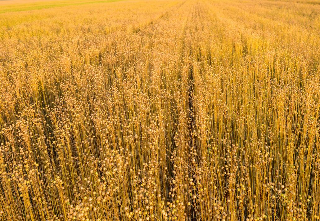 Flachs Feld vor Ernte